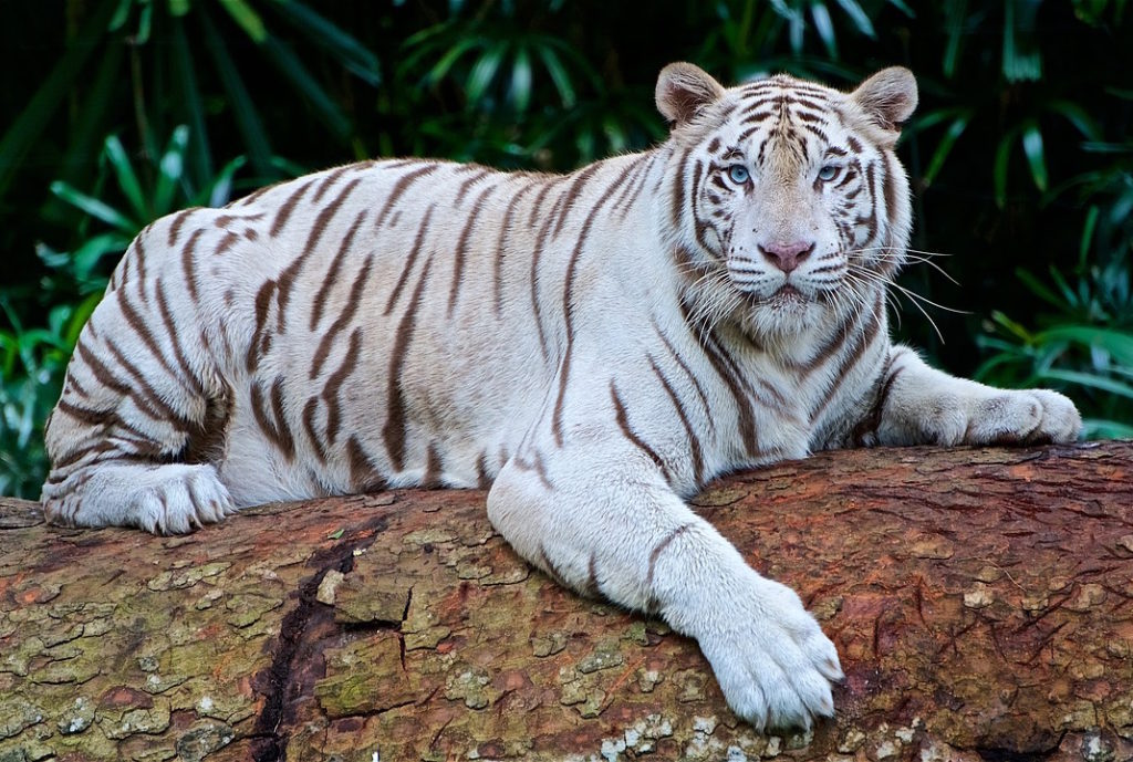 An image of a white tiger. O-or, is it an image of me, Bek-ho? Heh heh.